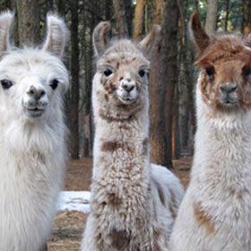 Long Island Yarn and Farm Llamas